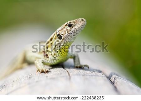 sand lizard - stock photo