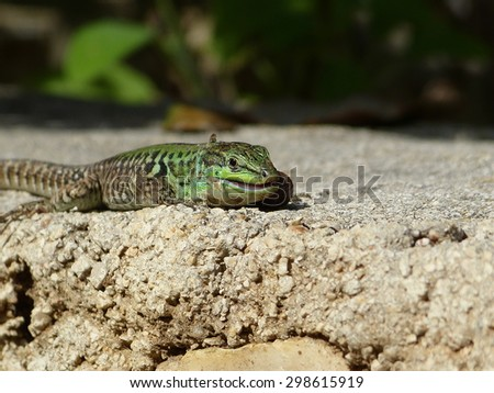 Sand Lizard eats earthworms lacerta agilis  - stock photo
