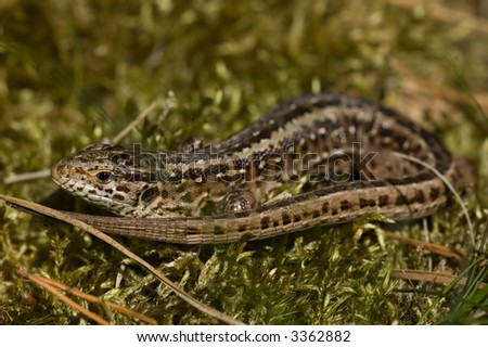Sand Lizard female with eggs