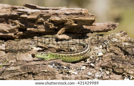 Sand Lizard Lying on a Tree Trunk