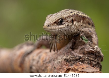 Sand lizard on a tree branch looking at us - stock photo