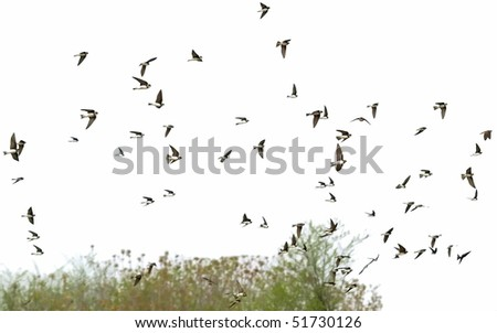 Sand Martin flock of birds isolated on a white, swallows - stock photo