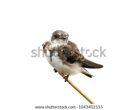 Sand martin (Riparia riparia) sitting on a branch isolated on a white background