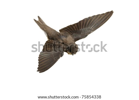 Sand Martin,swallow in flight  isolated on white background, riparia riparia - stock photo
