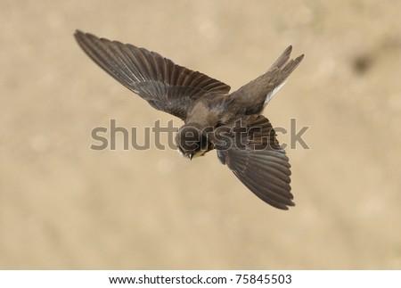 Sand Martin, swallow in flight, riparia riparia - stock photo