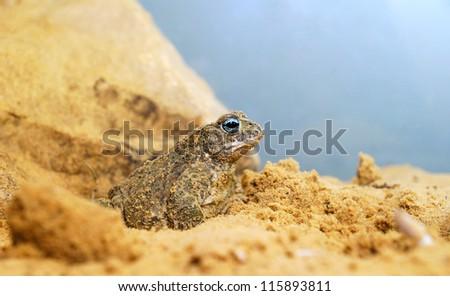 sand toad in terrarium - stock photo