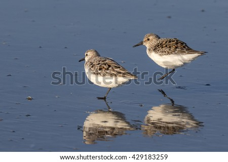 Sanderlings (Calidris alba) in summer plumage jumping at the ocean beach, Galveston, Texas, USA. - stock photo
