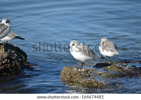 Sanderlings resting on a rock - stock photo
