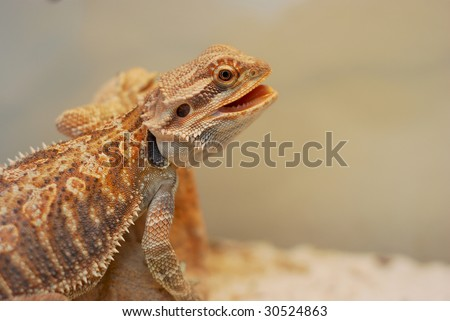 Sandfire bearded dragon venting, taken with a shallow dof
