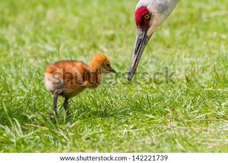 sandhill crane and 7 days old baby chick - stock photo