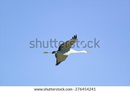 Sandhill crane flies over the Bosque del Apache National Wildlife Refuge at sunrise, near San Antonio and Socorro, New Mexico  - stock photo