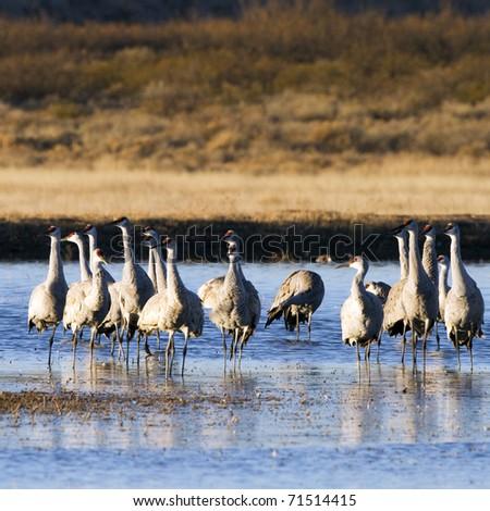Sandhill Crane flock wintering at Bosque del Apache National Wildlife Refuge in New Mexico - stock photo