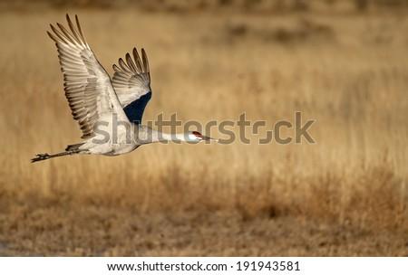 Sandhill Crane Flying Over Bosque Del Apache - stock photo