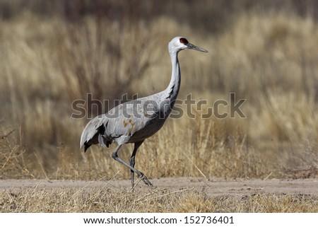Sandhill crane, Grus canadensis, Bosque, New Mexico, USA, winter                - stock photo