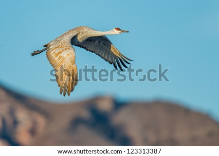 Sandhill crane in flight in front of mountain in early morning at Bosque del Apache National Wildlife Refuge near San Antonio, New Mexico