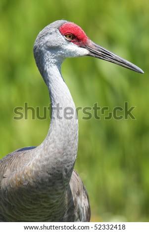 Sandhill Crane in Veira Wetlands - stock photo