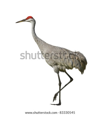 Sandhill crane, isolated on white. Latin name - Grus cannadensis. - stock photo