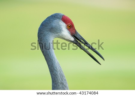 Sandhill Crane Profile - stock photo