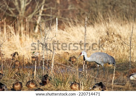 Sandhill crane resting with ducks - stock photo