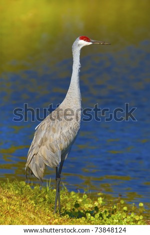 Sandhill crane standing on shore with beak in sand, full figure. Latin name - Grus cannadensis. - stock photo