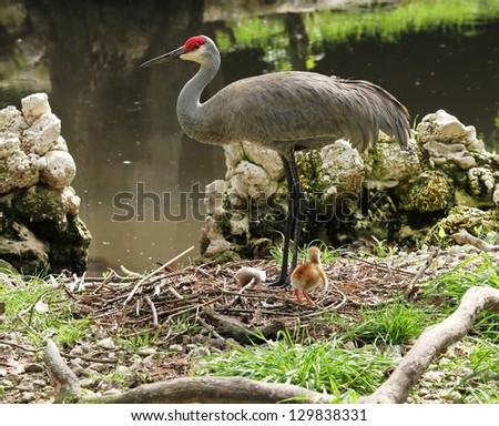Sandhill Crane with baby - stock photo