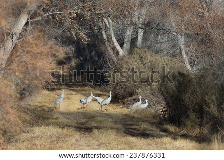 Sandhill cranes crossing refuge access road at Bosque del Apache National Wildlife Refuge in San Antonio New Mexico - stock photo