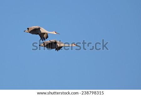sandhill cranes flight at Bosque del Apache NWR. - stock photo