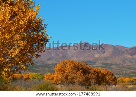 Sandhill Cranes fly over autumn cottonwoods in Bosque del Apache - stock photo