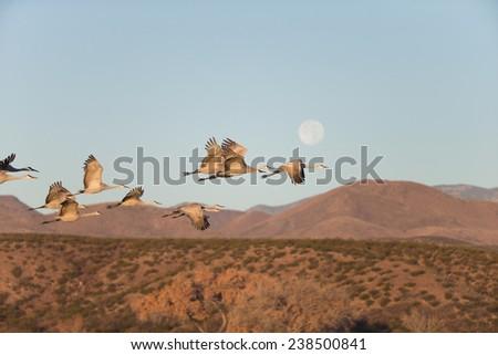 Sandhill cranes flying at Bosque del Apache National Wildlife Refuge in San Antonio New Mexico - stock photo