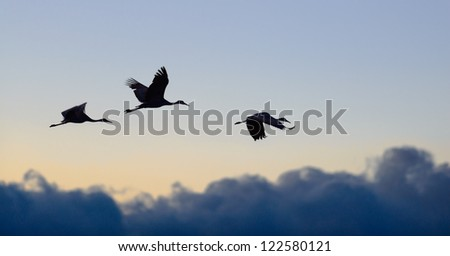 Sandhill cranes flying during sunset at Bosque del Apache national wildlife refuge in New Mexico. - stock photo