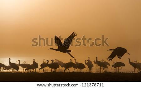 Sandhill cranes in Bosque del Apache national wildlife refuge, New Mexico. - stock photo