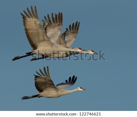 Sandhill Cranes in Flight - stock photo