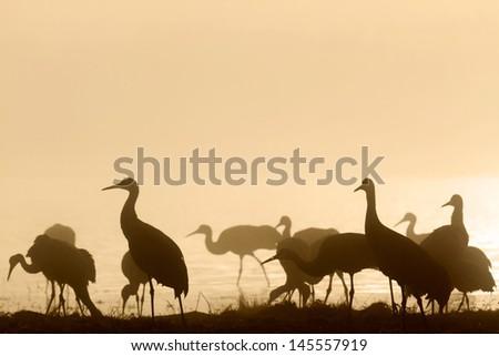 Sandhill cranes in morning mist, Bosque del Apache National Wildlife Refuge, NM - stock photo