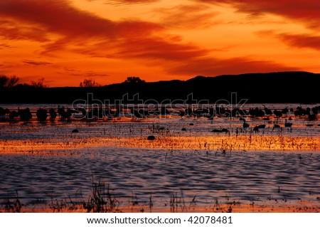 Sandhill cranes silhouette against the burning Bosque del Apache sky, New Mexico - stock photo