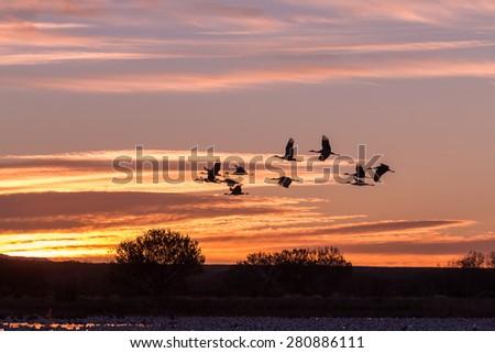 Sandhill Cranes Silhouetted in Sunrise - stock photo