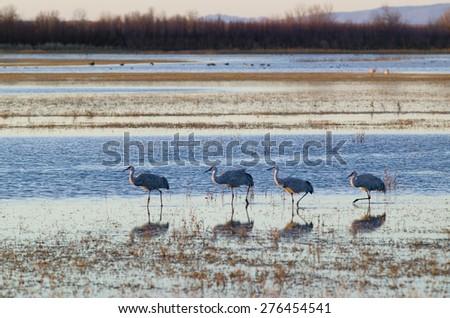 Sandhill cranes walk on lake at sunrise at the Bosque del Apache National Wildlife Refuge, near San Antonio and Socorro, New Mexico  - stock photo