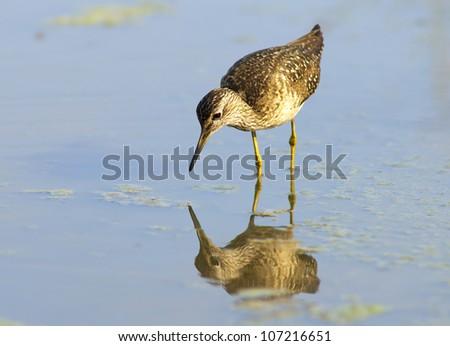 Sandpiper - european water bird - stock photo