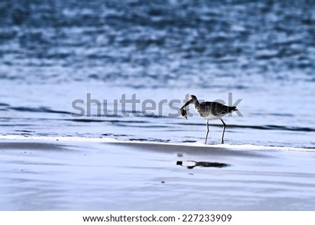 Sandpiper on the shores on a beach with a crab in its beak.