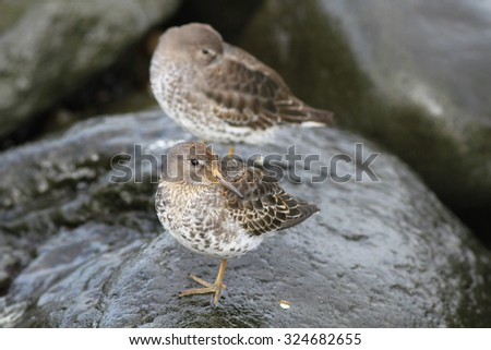 sandpipers on an ocean coast