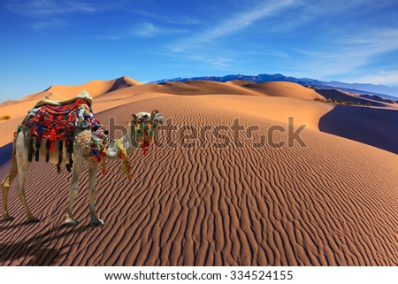 Sandy desert covered with waves of sand. Camel with harness and blanket for walking tourists