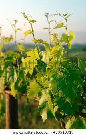 Sangiovese vines  in Tuscany, Italy, sunrise shot - stock photo