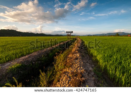 Sangkir, Kota Belud Borneo Malaysia Paddy Field. Mount Kinabalu the highest Mount in South East Asia as a background. Image contain some blur and soft focus area.
