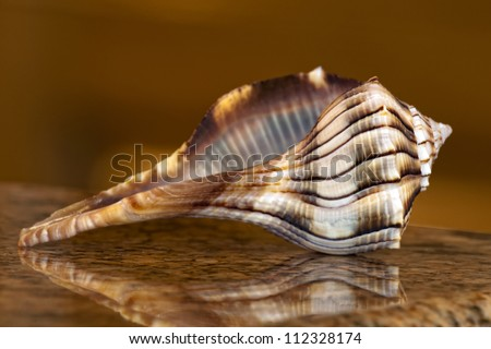 Sanibel Island Lightning Whelk