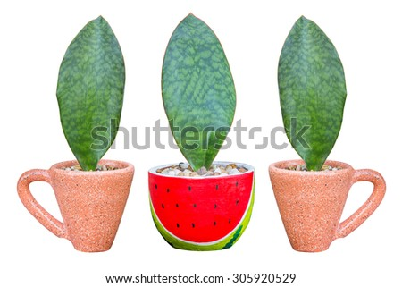 Sansevieria masoniana Chahin. Leaves Plant in a potted plant isolated. - stock photo
