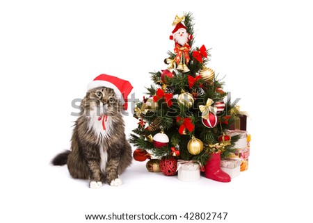 Santa cat dressing up in red Christmas cap and sitting by Christmas tree on white backgrounds. Domestic cat in New Year's hat and is looking fixedly at the camera.Year of tiger.Year of cat (rabbit). - stock photo