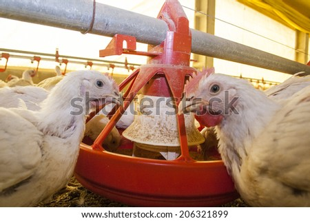 SANTA CATARINA, BRAZIL, SEPTEMBER 25, 2009: Chicken Farm, Poultry - stock photo