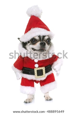 santa claus chihuahua in front of white background
