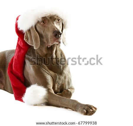 Santa dog isolated on white - stock photo