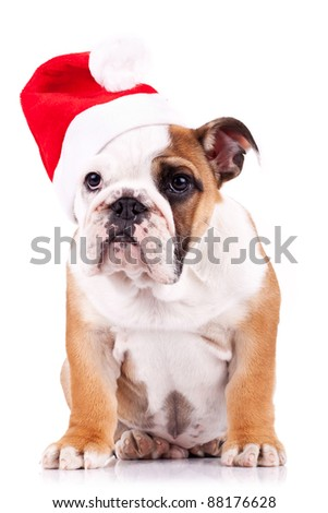 santa english bulldog puppy sitting on a white background
