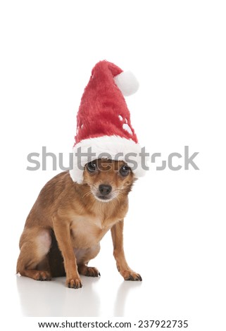 Santa Paws.  Adorable chihuahua wearing a Santa hat.  isolated on white.